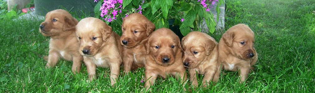 Schelhaas Family Puppies Chocolate And Yellow Labrador And Golden