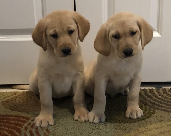 2 female puppies